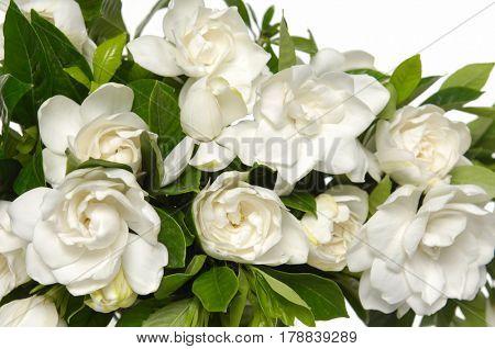 white gardenia blooming