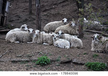 Flock of sheep ready to sleep. Small corral for the sheep in nature