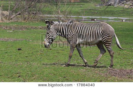 Walking Zebra.