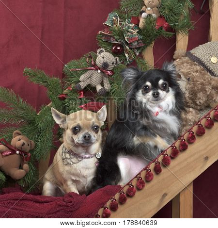Two chihuahuas sitting, in christmas decorations