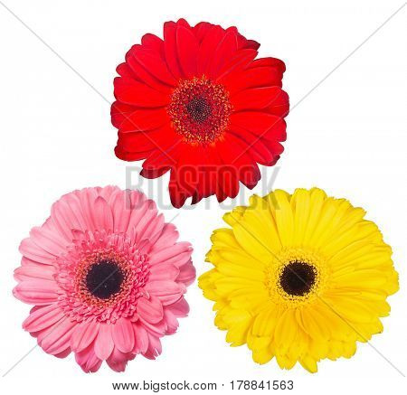 three gerbera blooms isolated on white background