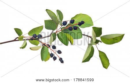 bunch of juneberry isolated on white background