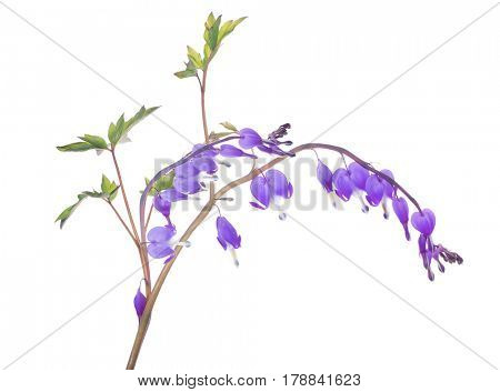 lilac small flowers isolated on white background