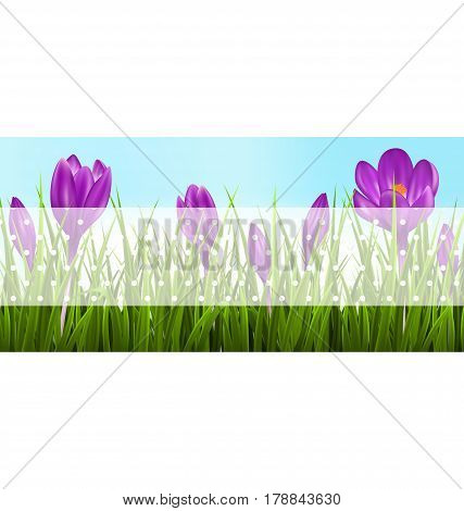 Green grass lawn and violet crocuses with transparent tape for text on sky. Floral nature spring banner