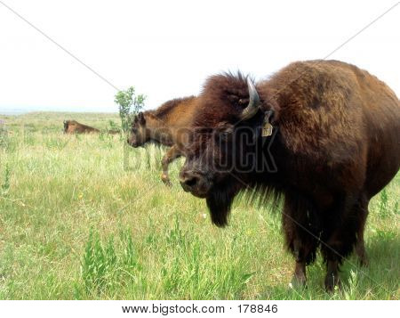 Ein Bison