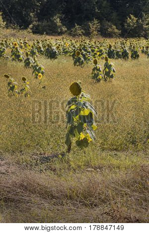 Sunflower and sunflower field resembling humans .Abstract