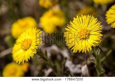 Flowers Of Tussilago Farfara Commonly Known As Coltsfoot