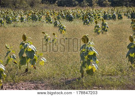 Field of sunflowers resembling people. Abstract and fun