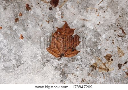 Dried maple leaf on dirty hoarfrost ground in winter, selective soft focus