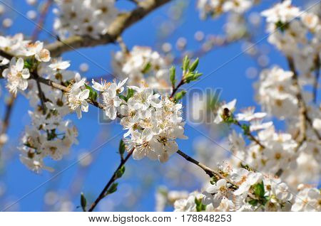 Trees in full bloom in spring, plum branches in full bloom