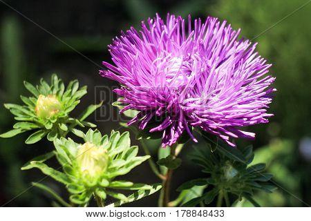 beautiful purple chrysanthemum on a green background
