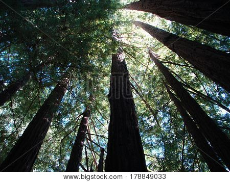 gazing up through the towering redwood trees