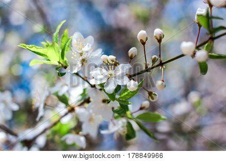 Flowering of small white flowers of apple trees