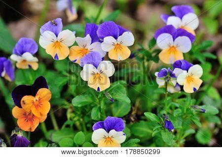 Tricolor Pansy Flower Plant Natural Background, Springtime