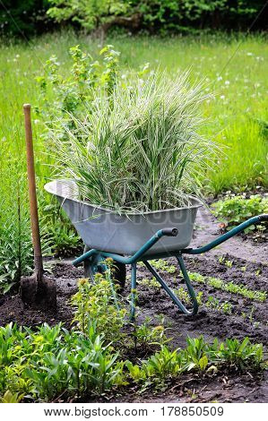 Wheelbarrow Full With Decorative Sedges (reed Canary Grass) And Shovel In A Garden