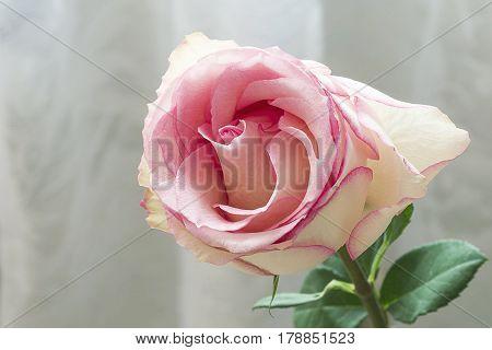 Beautiful single pink rose brand Esperanse on a light background