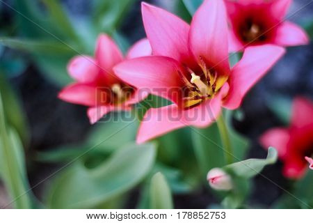 Blossoming scarlet tulips on a green background