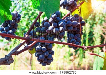Ripe grapes ready for harvest in the sunlight.