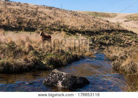 Brown Dartmoor pony on moorland by river. Wild horse in alpine in national park in Devon England UK alongside upland stream