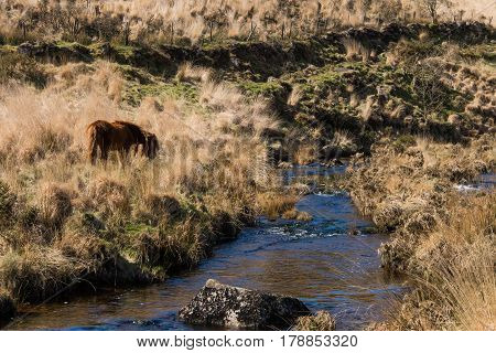 Grazing Dartmoor pony on moorland by river. Wild horse in alpine in national park in Devon England UK alongside upland stream