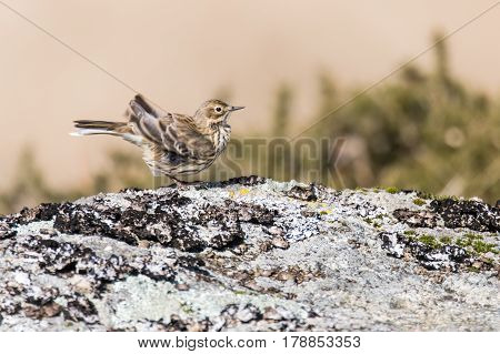 Meadow pipit (Anthus pratensis) ruffling feathers. Small brown songbird in the family Motacillidae flapping wings in Dartmoor Narional Park Devon UK