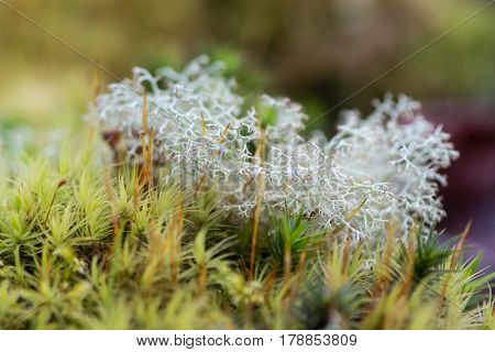 Reindeer lichen (Cladonia rangiferina). Highly branched light-coloured fruticose lichen in the family Cladoniaceae growing amongst moss on Dartmoor UK aka reindeer or caribou moss