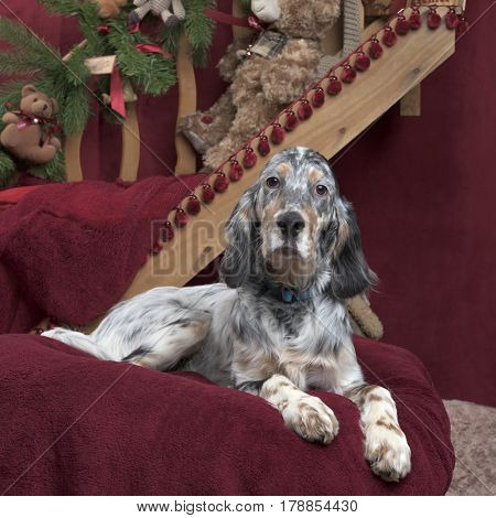English setter in Christmas decoration