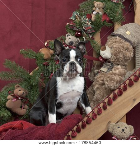 Boston terrier in Christmas decoration