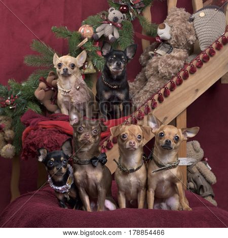 Chihuahuas and german spitz , in christmas decorations