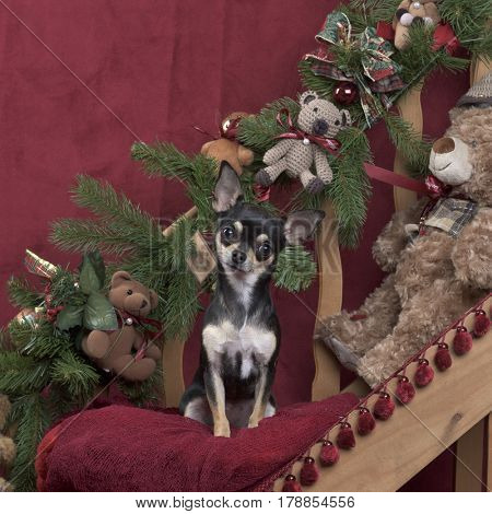 Chihuahua in Christmas decoration
