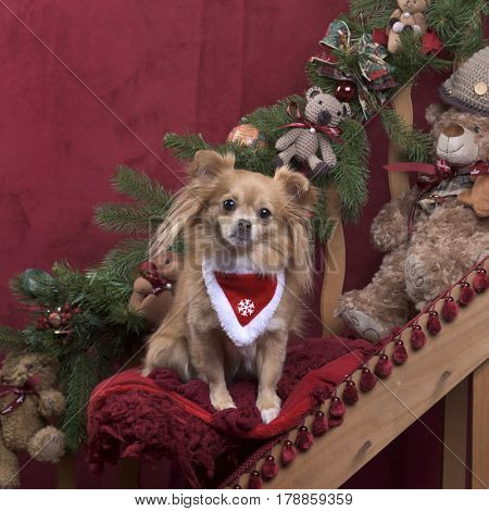 Chihuahua with a scarf in Christmas decoration
