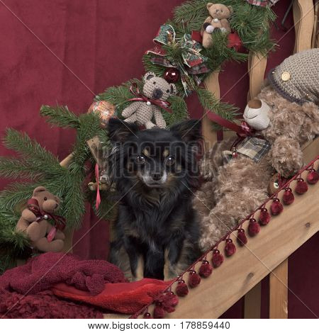 Black Chihuahua in Christmas decoration
