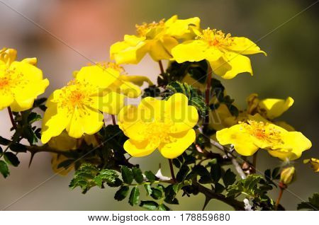 Herbacious plants with tender yellow flowers (primula)