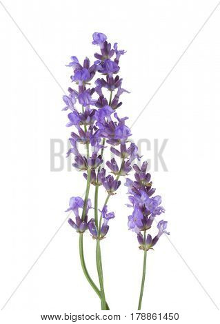 Few sprigs  of lavender isolated on white background.