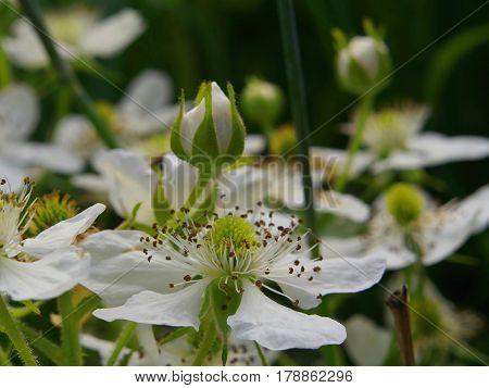Flowers of blackberry. White flowers garden dewberry.