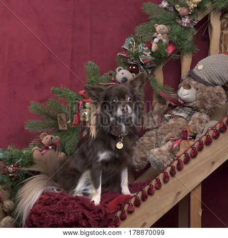 Chihuahua sitting in Christmas decoration