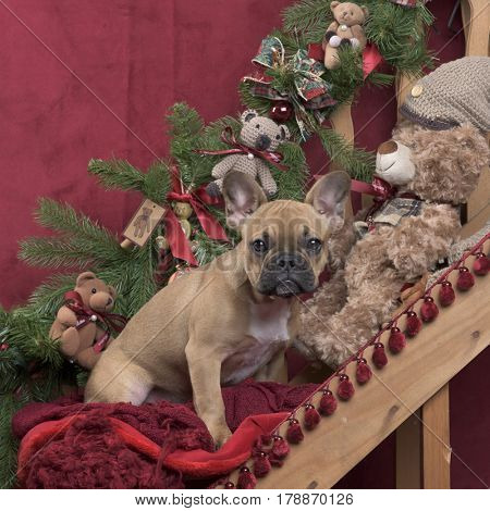 Puppy French Bulldog in Christmas decoration, 4 monthsold