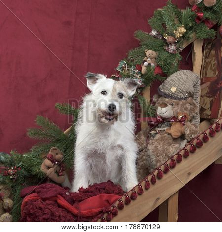 Jack russell in Christmas decoration