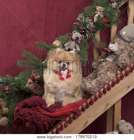 German spitz in Christmas decoration