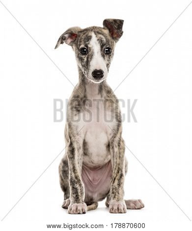 whippet sitting, 2,5 months, isolated on white