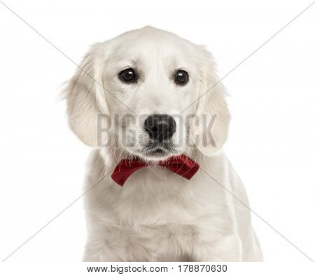 Close-up of a white Golden Retriever with a red bow tie, isolated on white