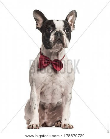Pug sitting with a red bow tie, isolated on white