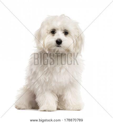 White Bichon sitting, isolated on white