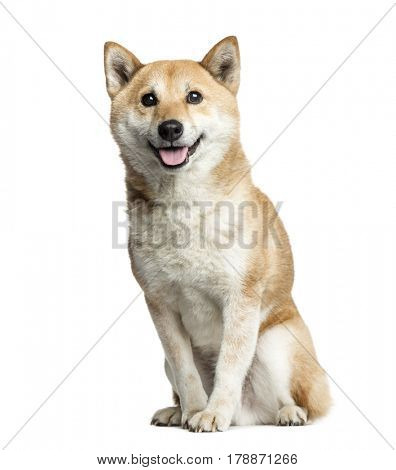 Shiba Inu sitting, 8 years old, isolated on white