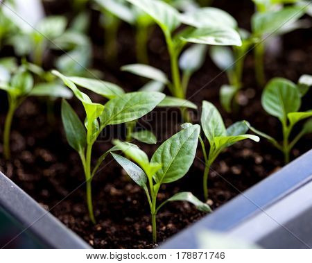 Young fresh seedling in plastic pots close-up