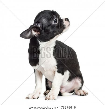 Chihuahua sitting and looking away, 5 months old, isolated on white