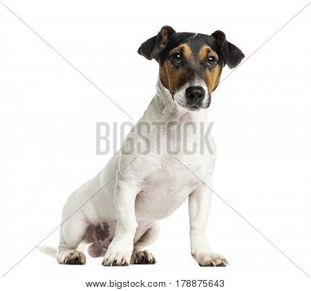 Puppy Jack Russell Terrier sitting, 6 months old, isolated on white