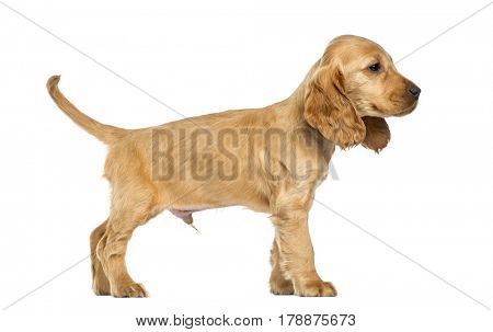 Puppy English Cocker Spaniel standing, 9 weeks old, isolated on white