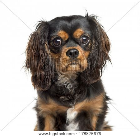 Close-up of a Cavalier King Charles, 7 years old, isolated on white