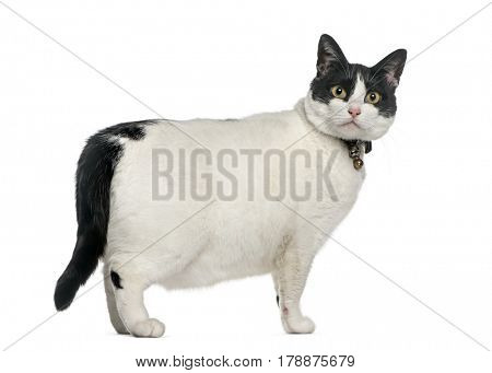 Angry fat cat, isolated on white